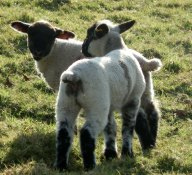 pretty-lamb-twins-keep1.jpg