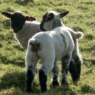pretty-lamb-twins-keep1.jpg