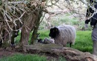 mum-and-just-born-lambs.jpg