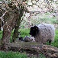 mum-and-just-born-lambs.jpg