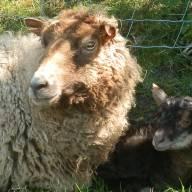 Robert's Lambs