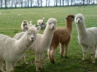 worried alpacas