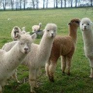worried alpacas