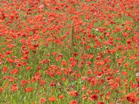 lots-of-poppies.jpg