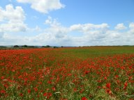 lovely-poppies.jpg
