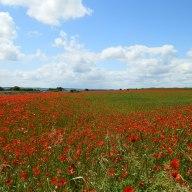 lovely-poppies.jpg
